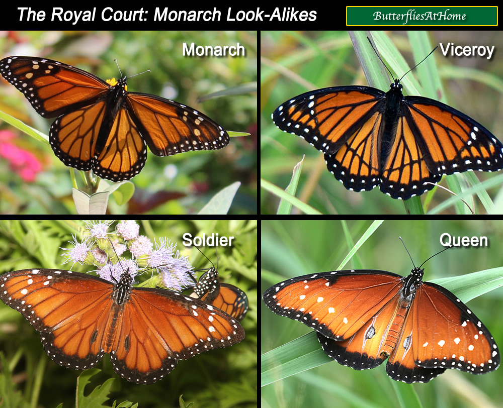 Comparison and spotting guide to similar butterflies: Monarch, Viceroy, Soldier and Queen