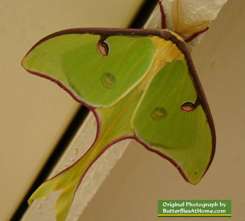 Luna Moth in Texas