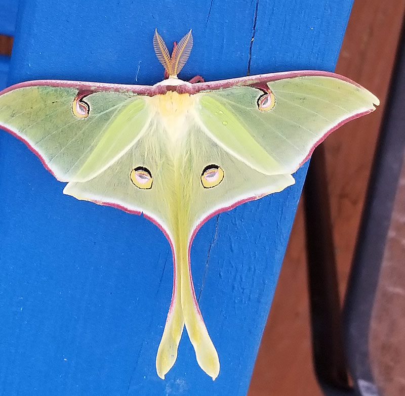 Luna Moth, seen in Garretts Bluff, Texas