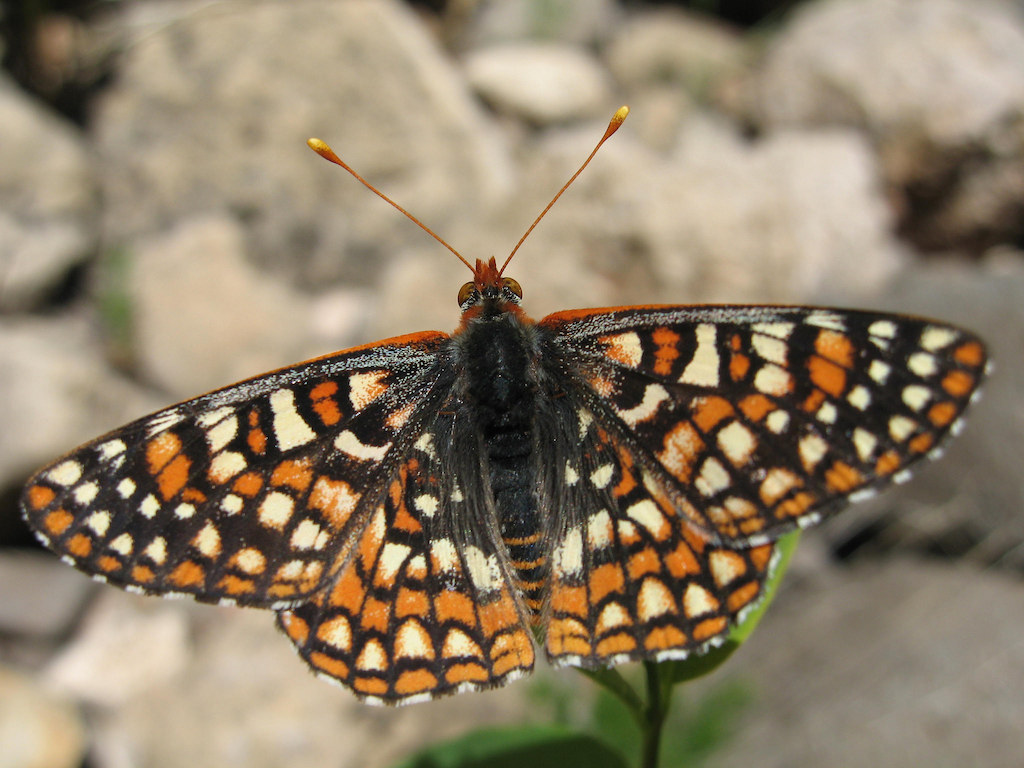 Anicia Variable Checkerspot Butterfly