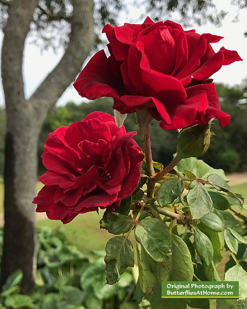 Beautiful red roses in full bloom in November at the Cerulean Park