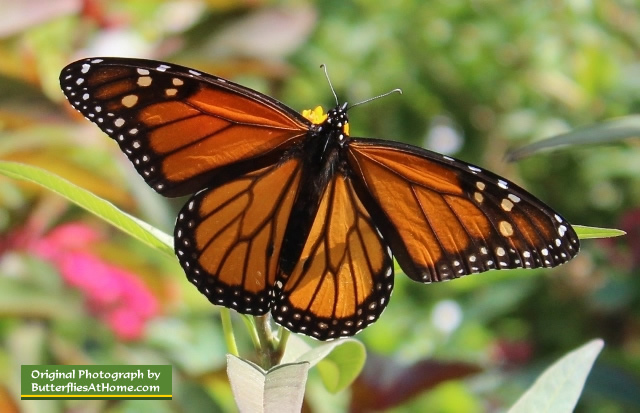 One of dozens of Monarch Butterflies during fall migration at the Cerulean Park in Florida